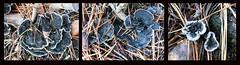 BlackTooth (Durley Beachbum) Tags: fungi phellodonniger blacktooth bournemouth november