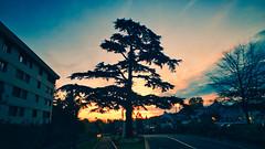 Un petit morceau de Liban en France (jeromedelaunay) Tags: clouds sunlight sunset sunrise sky photography naturelovers naturephotography nature colors cedre tree france lebanon liban