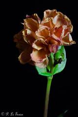 Dahlia (letexierpatrick) Tags: dahlia fleur flower fleurs flowers floraison nature botanique bouquet fondnoir noir colors couleur couleurs coeurdefleurs black explore france europe