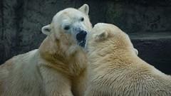 Hot kisses on ice (Sony Selp18105G) (gyulaiván) Tags: sony a6500 selp18105g 18105 polar bear zoo budapest hungary kiss glens