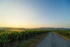 Clear view (ZeGaby) Tags: champagne landscape leverdesoleil marne naturephotography paysage paysagedechampagne pentaxk1 sunrise vines vineyards avenayvaldor france irix15mm