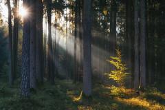 L u m i n o u s (der_peste (on/off)) Tags: raysoflight raysofgod godrays sunrays light sunlight sunbeam forest tree mist fog misty foggy woods woodland