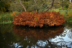 Savill Garden 30 October 2019 031 (paul_appleyard) Tags: savill garden october 2019 water bracken golden brown reflection