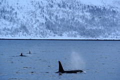 00304827 (Daniel John Benton) Tags: troms nordnorge northernnorway norge norway scandinavia europe arctic snow snø orca orcas dolphins dolphin killerwhales killerwhale wildlife sea sony a7 a7iii ig