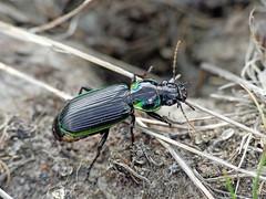 Frog-eating ground-beetle Catadromus lacordairei (Simon Grove (TMAG)) Tags: tasmania tmagzoology tasmanianmuseumandartgallery insecta coleoptera carabidae catadromuslacordairei