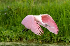 Roseate Spoonbill in action (DonMiller_ToGo) Tags: spoonbill roseatespoonbill birdsinflight bif birds celeryfields d810 pink green naturelovers nature