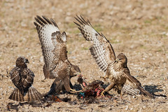 Buzzard feeding Nov 2018 (jgsnow) Tags: yellow bird raptor buzzard commonbuzzard fighting feeding