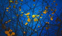 Cold Blue (Dhina A) Tags: sony a7rii ilce7rm2 a7r2 a7r kaleinar mc 100mm f28 kaleinar100mmf28 5n m42 nikonf russian ussr soviet 6blades manualfocus bokeh lens cold blue autumn
