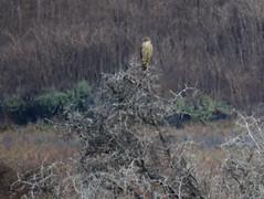 Merlin and African Box Thorn (stonebird) Tags: ballonawetlandsecologicalreserve areab november merlin falcocolumbarius africanboxthorn img7512