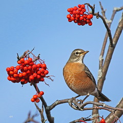 Merle d'Amérique / American Robin (alainmaire71) Tags: oiseau bird turdidae turdusmigratorius merledamérique americanrobin nature quebec canada