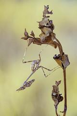 Empusa pennata (Raul Espino) Tags: 2019 canon100mml canon6dmarkii empusapennata macro macrofotografia natural naturaleza sevilla insectos