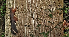 Not one but two at a time (wilma HW61) Tags: eekhoorn squirrel scoiattolo écureuil knaagdier rongeur roditore rodent rodeeekhoorn gewoneeekhoorn boom tree albero arbre dier animal animale beast tier natuur nature natur naturaleza nikond90 nederland niederlande netherlands holland holanda paysbas paesibassi paísesbajos europa europe outdoor herfst herbst fall najaar autumn automne autunno wilmahw61 wilmawesterhoud wow