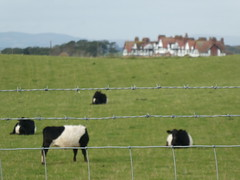 Headless Belted Galloway (Brian Cairns) Tags: ncn7 sutrans dumfries annan thenationalbyway caerlaverock solway cycling brianbcairns scotland