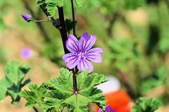P1010968 (alainazer) Tags: rousillon provence vaucluse france fiori fleurs flowers