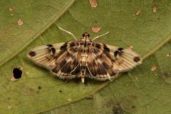 Crambid Moth (perhaps Tylostega sp., Crambidae) (John Horstman (itchydogimages, SINOBUG)) Tags: insect macro china yunnan itchydogimages sinobug entomology canon moth lepidoptera crambidae unidentified tumblr