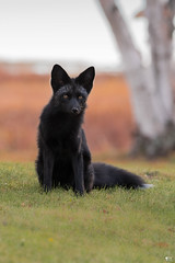 ''Le renard!'' Renard argenté (pascaleforest) Tags: wild canada nature animal nikon quebec wildlife faune passion