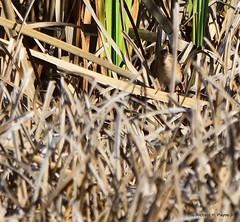 Field Sparrow_8942_00001-001 (Henryr10) Tags: miamieriehistoriccanal gilmoremetropark gilmorepondspreserve hamiltonoh preserve usa ohio sparrow spizellapusilla fieldsparrow avian bird spizella vogel ibon oiseau pasare fågel uccello tékklistar fisp