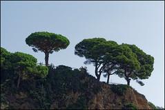 Pines   Blanes, Catalonia (Flemming J. Gade) Tags: trees pines hill rocks sky blanes catalonia