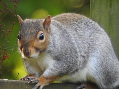 Grey Squirrel (blue33hibiscus) Tags: animal mammal rodent greysquirrel garden fence cornwall