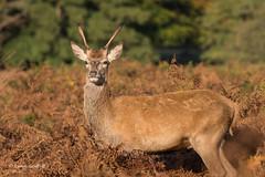 Maybe next year 502_2178.jpg (Mobile Lynn) Tags: nature reddeer deer landmammals cervuselaphus fauna mammal mammals wildlife richmond england unitedkingdom coth specanimal ngc npc coth5