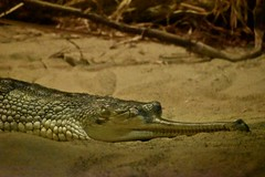 Gharial (Myusername432) Tags: gharial crocodile reptile animal zoo cleveland rainforest