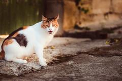 cat in the neighborhood (T. Kaiser) Tags: cat zypern cyprus tochni tiere katze sonyilce7rm3 fe85mmf18 ƒ18 85mm