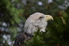 Cockeyed (Myusername432) Tags: bald eagle cleveland zoo bird animal