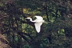 Great White Egret 30.10.2019