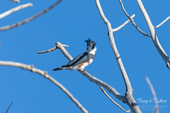 November 3, 2019 - A belted kingfisher keeping watch. (Tony's Takes)