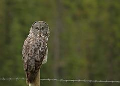 Great Gray Owl...#35 (Guy Lichter Photography - 5.3M views Thank you) Tags: canon 5d3 canada alberta wildlife animal animals bird birds owl owls greatgrayowl