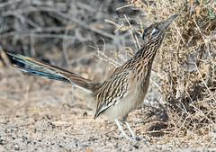 Roadrunner (Ed Sivon) Tags: america canon nature lasvegas wildlife western wild wind southwest desert clarkcounty vegas flickr bird henderson nevada preserve