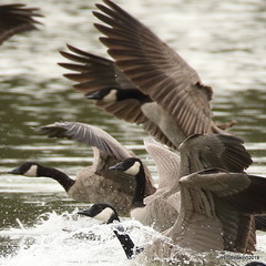 Canadian Geese...eh (YEGBirder) Tags: canadageese geese beaumaris edmonton lakebeaumaris lakebeaumarisedmonton canadian