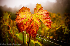 Autumn Vine Leaf (broadswordcallingdannyboy) Tags: autumn fall mood mist light knighthayes devon westcountry gardens countryestate countryhouse leonreillyphotography copyright donotcopy eos7d canon leonreilly eflens knightshayes knightshayesgardens nationaltrust exmoor vine vines vineleaf englishvineyard vineyard