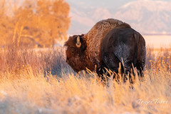 November 2, 2019 - A frosty bison in the morning. (Tony's Takes)
