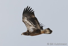 November 1, 2019 - A juvenile bald eagle in flight. (Bill Hutchinson)