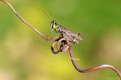 Last Pose (Vie Lipowski) Tags: redleggedgrasshopper melanoplusfemurrubrum grasshopper tendril insect bug backyard garden fall autumn wildlife nature macro
