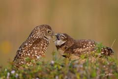 It never ends......... (craig goettsch) Tags: burrowingowls capecoral owl owlet parent chick juvenile nature wildlife animals bird avian nikon d500