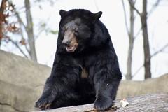 BEAR (Myusername432) Tags: blackbear bear animal zoo cleveland