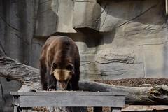 Walk the Plank (Myusername432) Tags: bear brown animal zoo cleveland