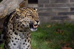 Flehmen Grimace (Myusername432) Tags: cat amur leopard animal zoo flehmen grimace cleveland