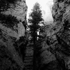 In Canyons 406 (noahbw) Tags: brycecanyon d5000 nikon utah wallstreet abstract autumn blackwhite blackandwhite bw canyon cliffs desert erosion landscape light monochrome natural noahbw rock slotcanyon square stone tree treetrunk trees