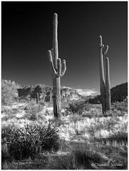 Two Saguaros (claudiov958) Tags: arizona biancoenero blancoynegro claudiovaldés černýabílý goldfield mediumformatdigital noiretblanc pentax645z pentaxart pretoebranco blackwhite czarnyibiały mediumformat ngc schwarzundweiss черноеибелое hdpentaxda6452845mmf45edawsr