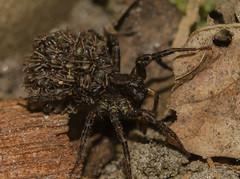 Piggy back (m&em2009) Tags: wolf spider babies arachnid macro close up nikon d7000 camera lens 60mm nature