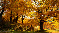 Vermont Gold (OJeffrey Photography) Tags: vt vermont starburst sun panorama pano gold golden mapleleaves maple mapleleavesincolor trees fallcolors fallcolor fall backlit ojeffreyphotography ojeffrey jeffowens nikon d850