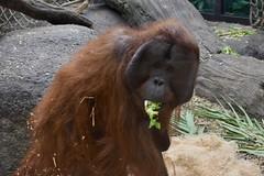 Orangutan (Myusername432) Tags: orangutan ape primate animal cleveland zoo rainforest lettuce glass