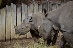 Munchies (Myusername432) Tags: rhino mother calf hay grass eating animals cleveland zoo