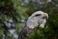 America! (Myusername432) Tags: bald eagle bird cleveland zoo animal