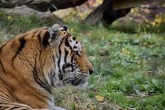 Rawr (Myusername432) Tags: amur tiger cat animal big orange cleveland zoo