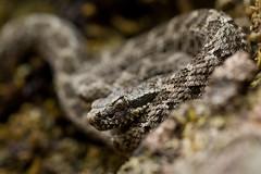Crotalus tlaloci (danko.leska) Tags: snake rattlesnake crotalus mexico reptile nature wildlife herpetology herp animal canon 100mm