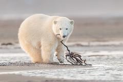 Polar Bear Cub With A Stick (Loren Mooney) Tags: alaska bear wildlife mammal americanbirds bird kaktovik outdoors nature canon polarbear wilderness animal american bearsursidae birding birds birdwatching wild wings